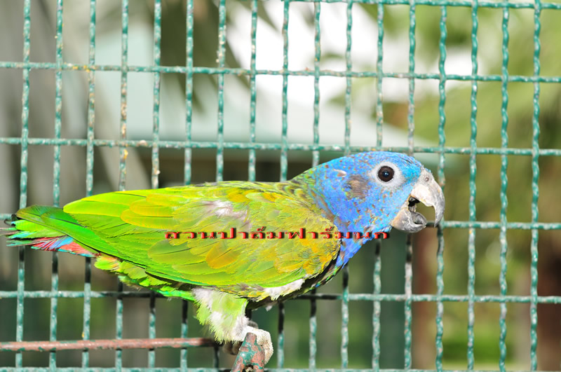 BLUE – HEADED PARROT